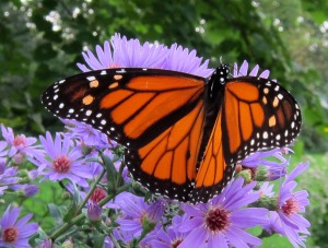 Monarch butterfly An unsung western hero...If Jesus saves he better save himself