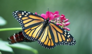 monarch-butterfly CALIFON busy with his money gig