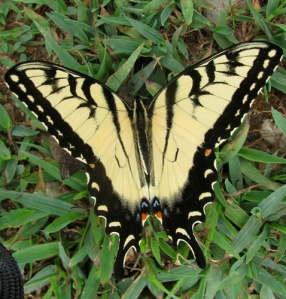 tiger_swallowtail _butterfly  A father high in heaven smiled down upon your son