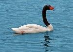swanblack&white