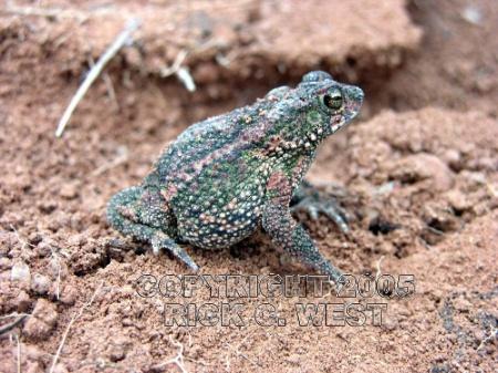 Toad, Roraima toad, Bufo Granuloso