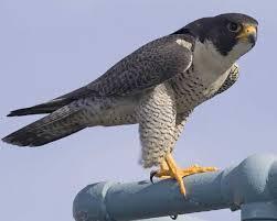 em_Peregrine FalconFalco peregrinus