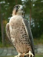 File Kolmarden Lanner Falcon