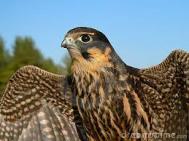hobby-falcon-Shameless_See_aimlessly_So_Blue