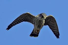 small species of falcon Falco columbarius is commonly know as a Merlin