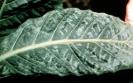 Tobacco mosaic virus symptoms on tobacco