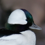 bufflehead-duck-male-1