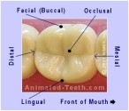 molar-tooth-surfaces