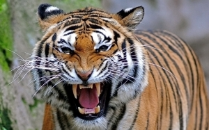 bengal-tiger-wallpaper.  You're white for a Martian.