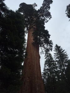 RoughFire has burned right up to the General Grant tree