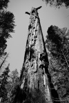 The Mother of the Forest correct was an ancient and huge Giant Sequoia. 321 ft tall, 90ft at ground-level, 2,520 years old, and covered in bark 2 ft thick, ...