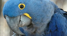 hyacinth_macaw_2011
