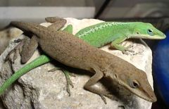Anolis_carolinensis_(male&female)_by_Robert_Michniewicz. Buckin' the middle of 'em.