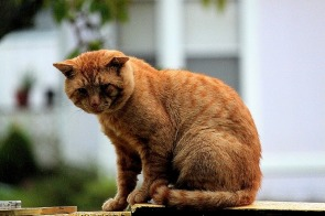 Yellow Tom Cat Noises Hesitate Dig In
