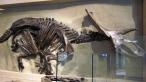 Anchiceratops ornatus