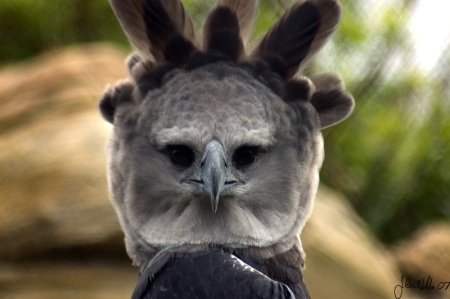 harpy_eagle_by_ringtaillemur