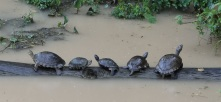 five-turtles-on-a-log-gamboa-rainforest-park