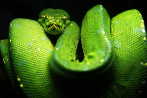 green-tree-python1