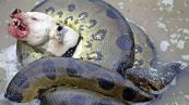 giant-anaconda-snake-vs-dog-real-fight